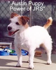 """CH Austin Puppy Power of JRS"" is also full sibling/littermate to our ""Harriet of JRS""."