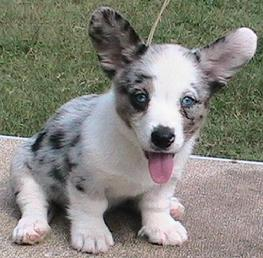 Possible blue merle litter for this summer of 2009. Walnut Creek Cardigan Welsh Corgi puppies...