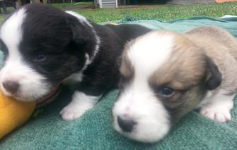 Walnut Creek Cardigan Welsh Corgi's, Maryille, TN ~ AKC Cardigan Welsh Corgi Puppies Available
