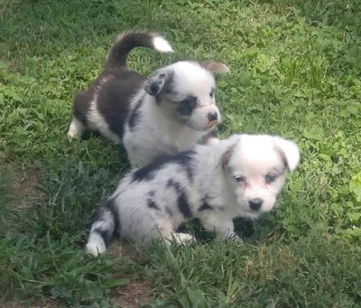 Walnut Creek Cardigan Welsh Corgi's, Tennessee happy tail waggers... AKC registered, health tested DM