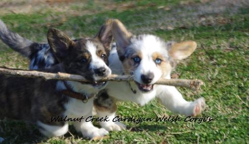 Walnut Creek Cardigan Welsh Corgi's, Georgia, Tennessee happy tail waggers... AKC registered, health tested DM, Walnut Creek Corgis, Walnut Creek Corgi, Walnut Creek Corgi puppies, Walnut Creek Corgis Georgia, Walnut Creek Texas, Walnut Creek Corgis' Says NO to cross Breeding....