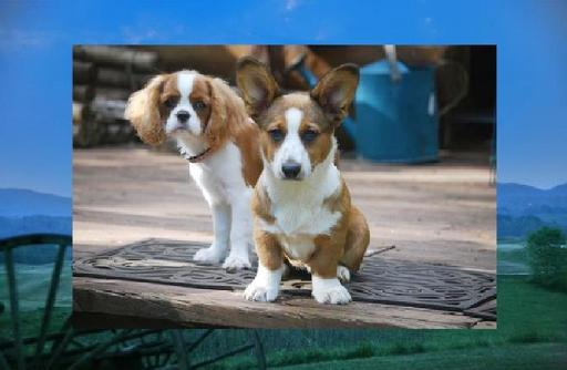 Walnut Creek Cardigan Welsh Corgis 1's w/the Tail & Allevato Cavalier King Charles Spaniels Georgia, USA...