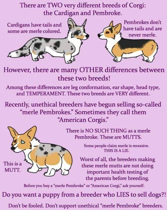Walnut Creek Cardigan Welsh Corgi's, Tennessee happy tail waggers... AKC registered, health tested DM, Walnut Creek Corgis, Walnut Creek Corgi, Walnut Creek Corgi puppies, Walnut Creek Corgis Georgia, Walnut Creek Texas, Walnut Creek Corgis' Says NO to cross Breeding....